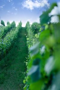 vinograd2 2