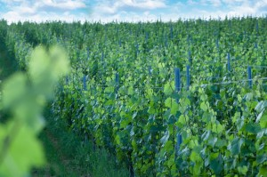 vinograd3 2
