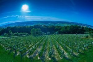 vinograd 2